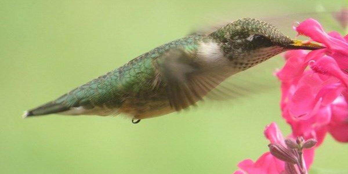 Ken Hare's Natural Alabama: Ruby-Throated Hummingbirds return to Alabama