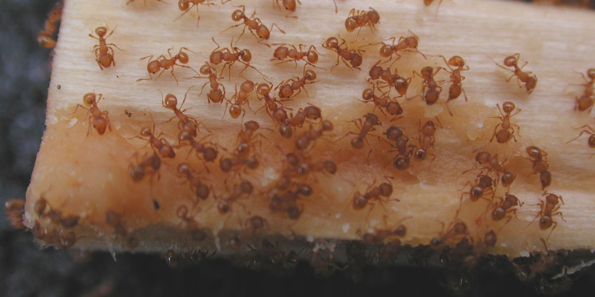 Fire ants causing headaches for Alabama farmers