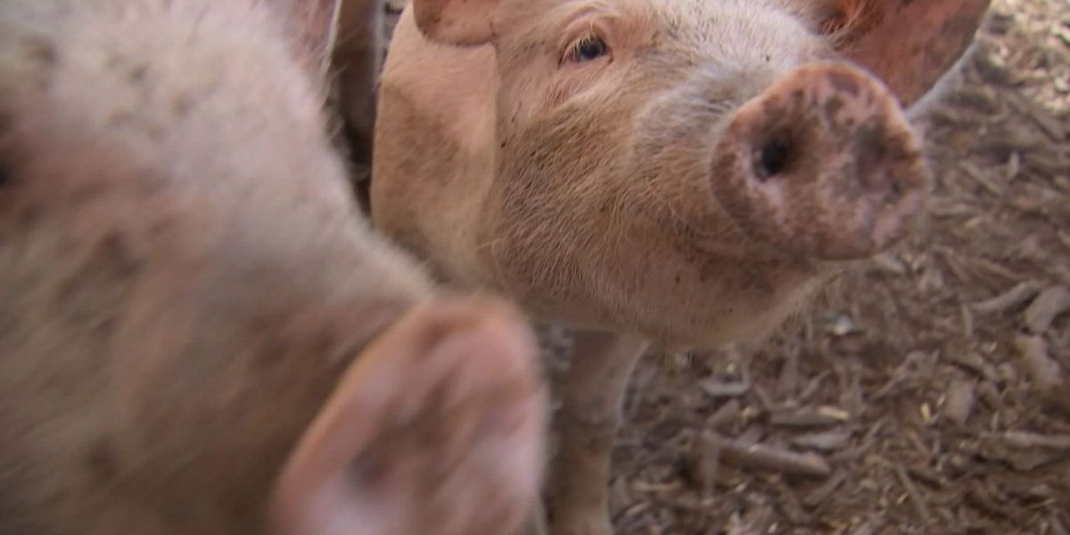 FDA approves genetically modified pig for food and medical use