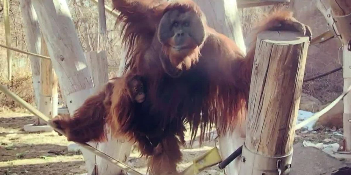 Orangutan defies nature, becomes 'Mr. Mom' to 2-year-old daughter