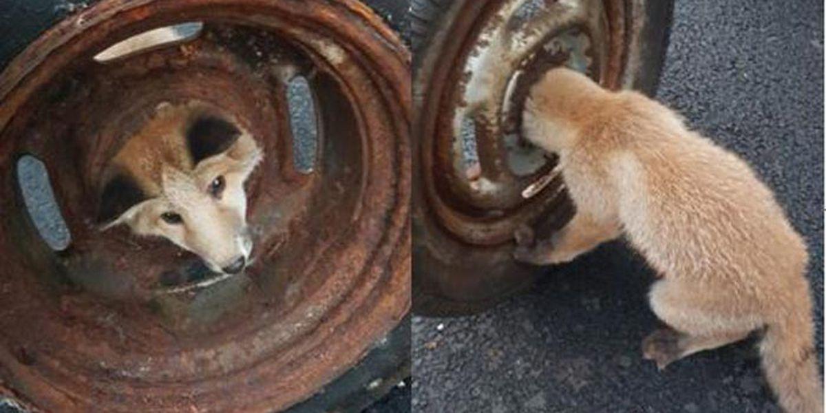 Firefighters rescue fox cub stuck in wheel