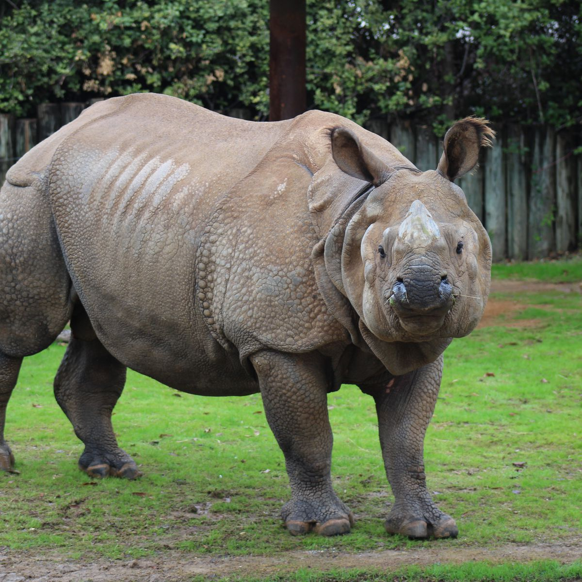 Greater one-horned rhino euthanized at Montgomery Zoo after 7 months in vet care