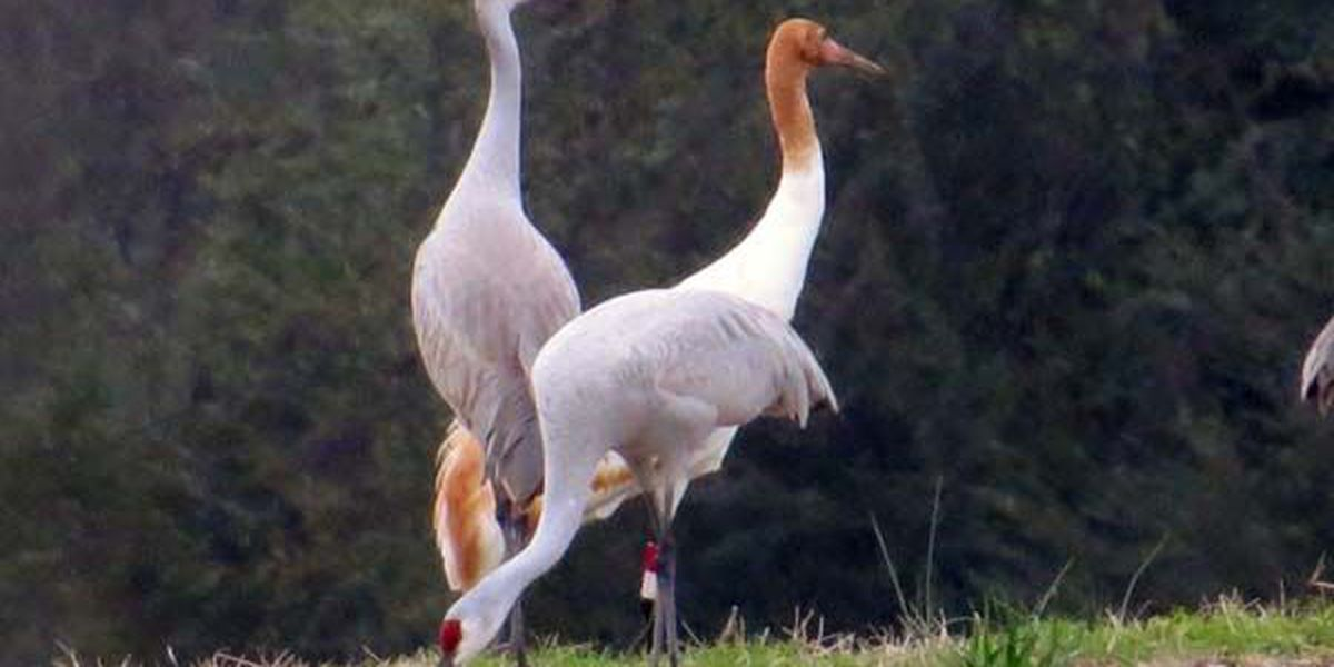 Ken Hare's Natural Alabama: Harming endangered Whooping Crane can prove costly