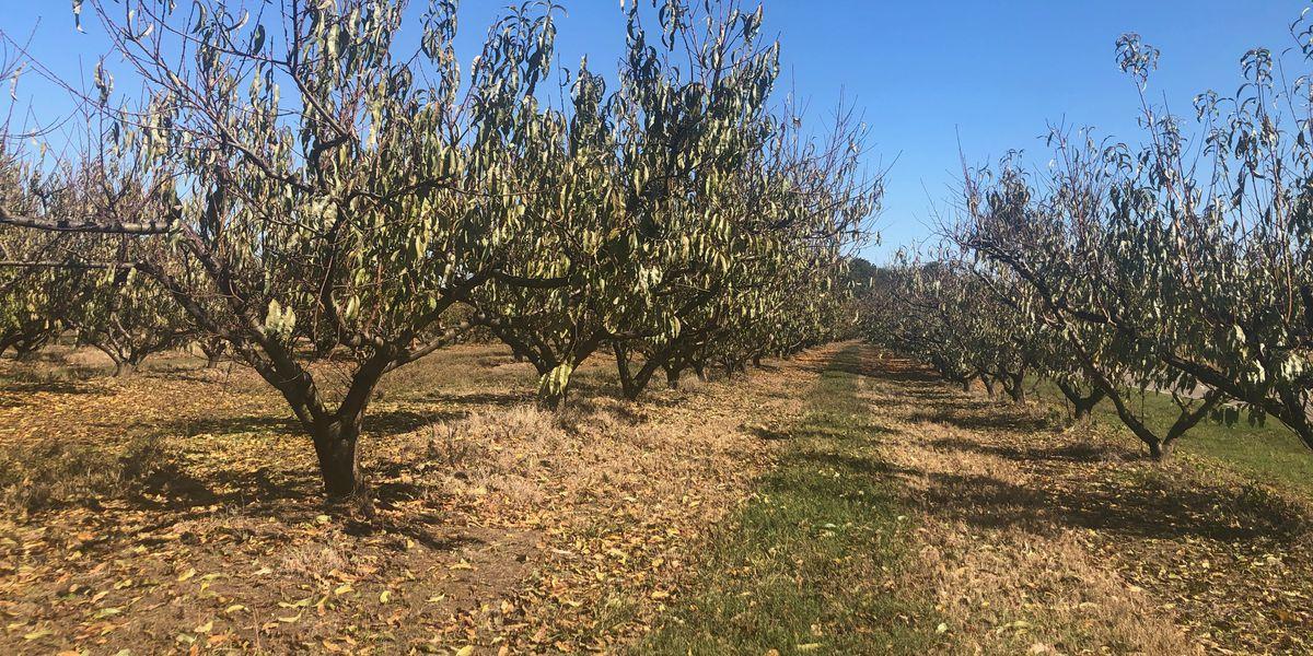 A Family Affair: Chilton county farmer celebrates personal history through peaches