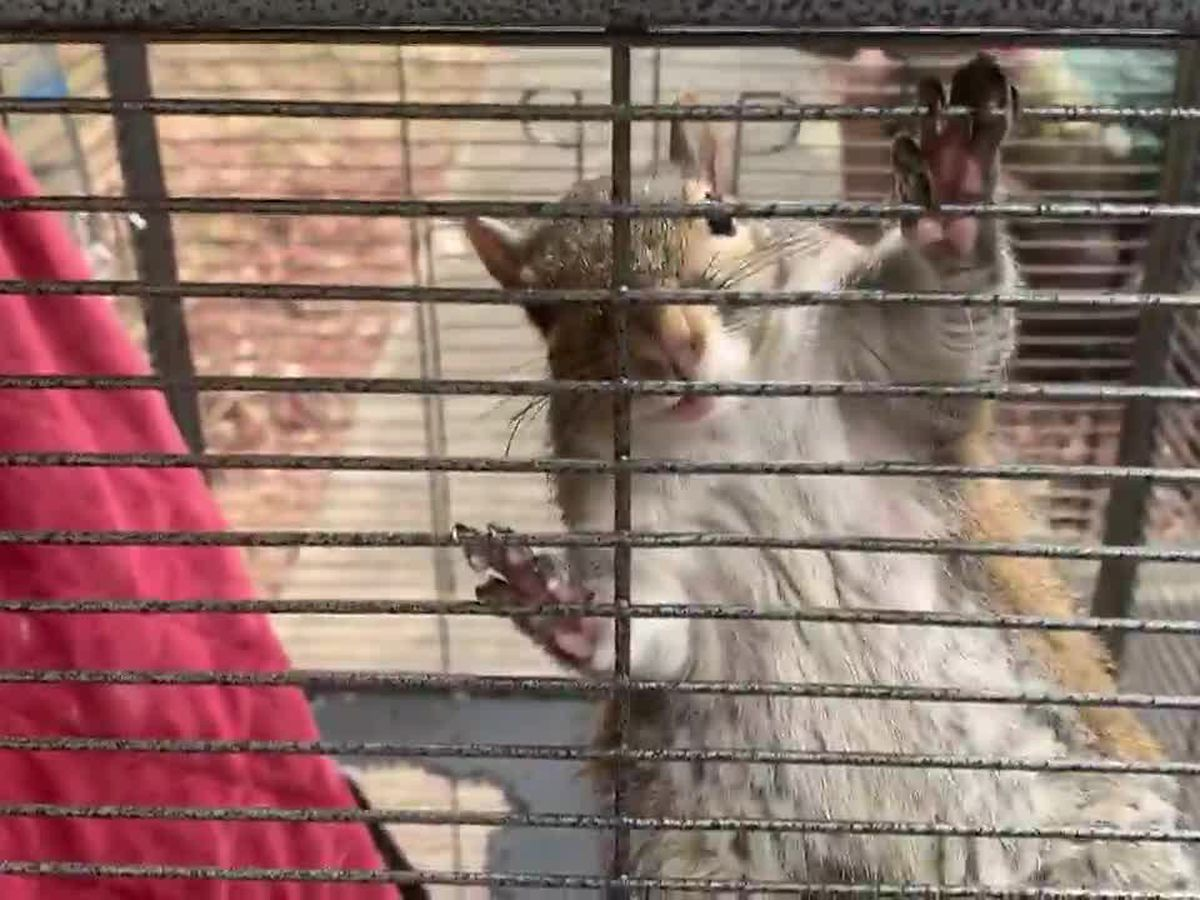 ATTACK SQUIRREL: North Alabama deputies rescue wild rodent in meth bust