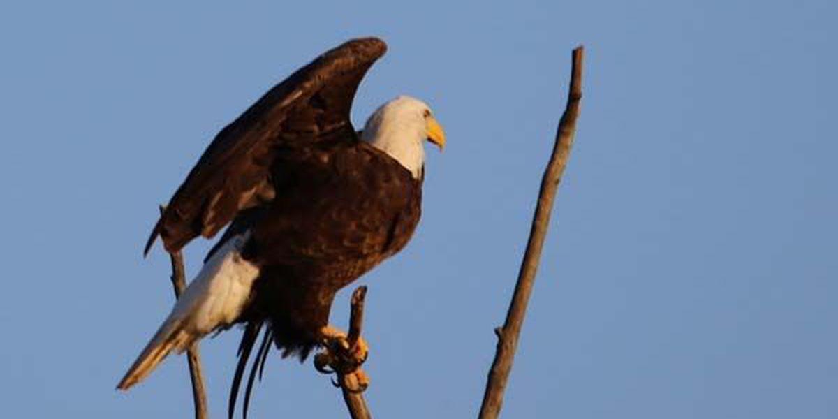Ken Hare's Natural Alabama: Proper Bald Eagle etiquette key to growing populations