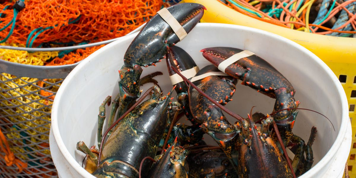 Live Maine lobsters to be flown in for upcoming fundraiser