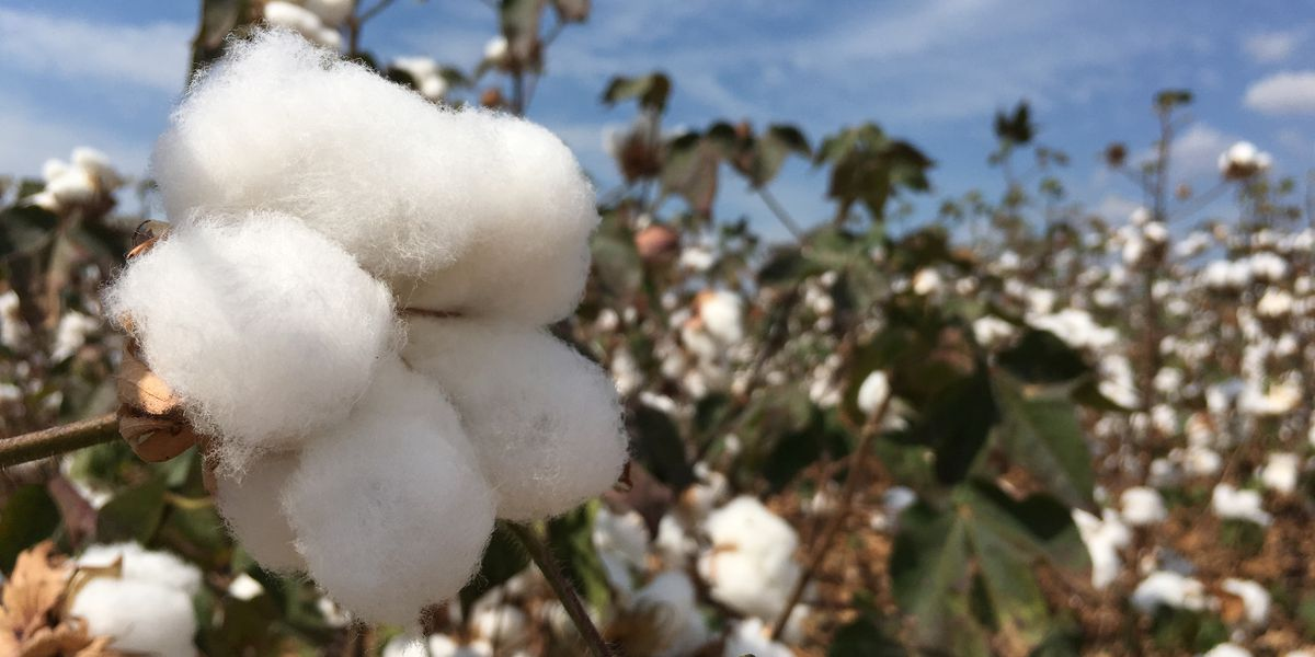 Drought causes higher fire hazard for cotton farmers