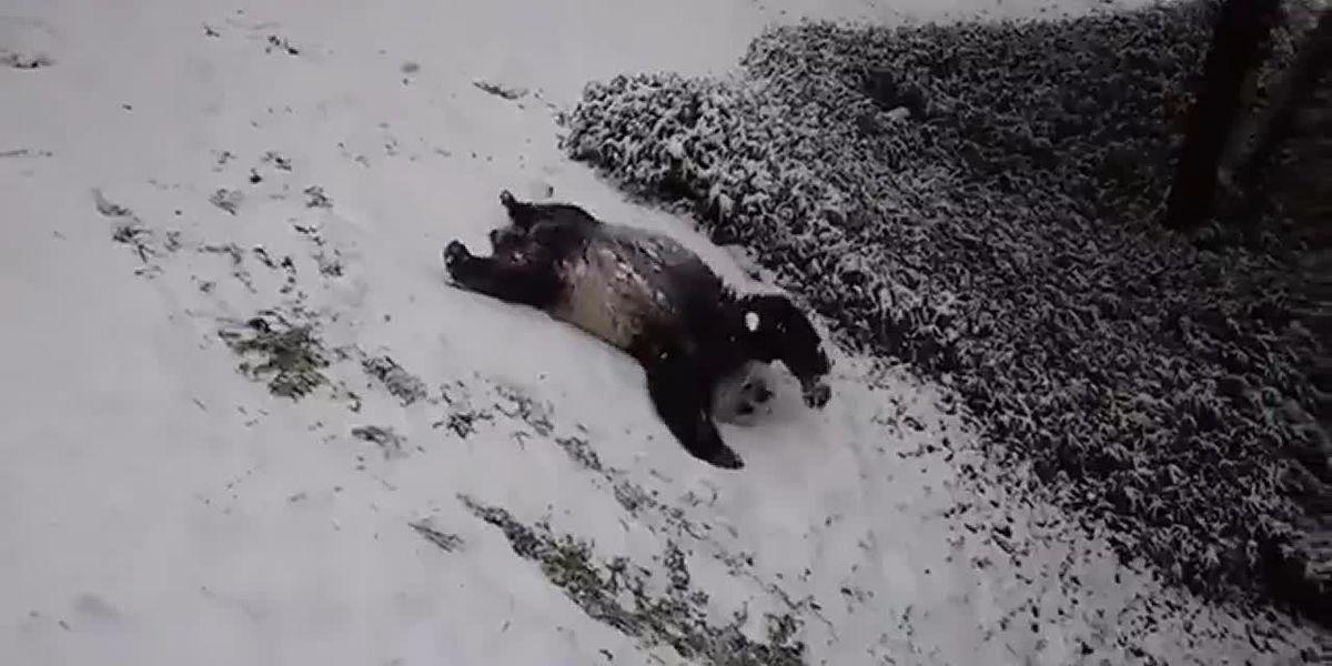 'Pure panda joy': National Zoo giant pandas frolic in snow