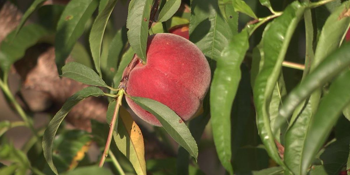 Colder weather good for Chilton County peach trees