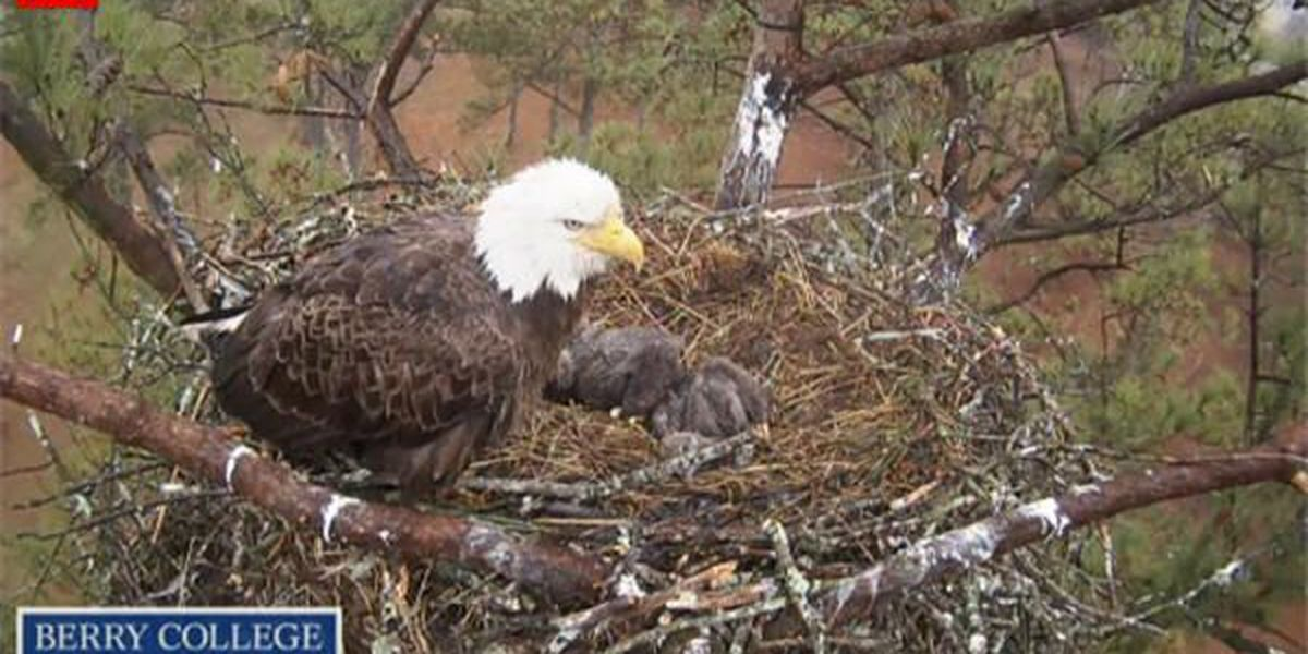 WATCH: Berry College Eagle Cam 2
