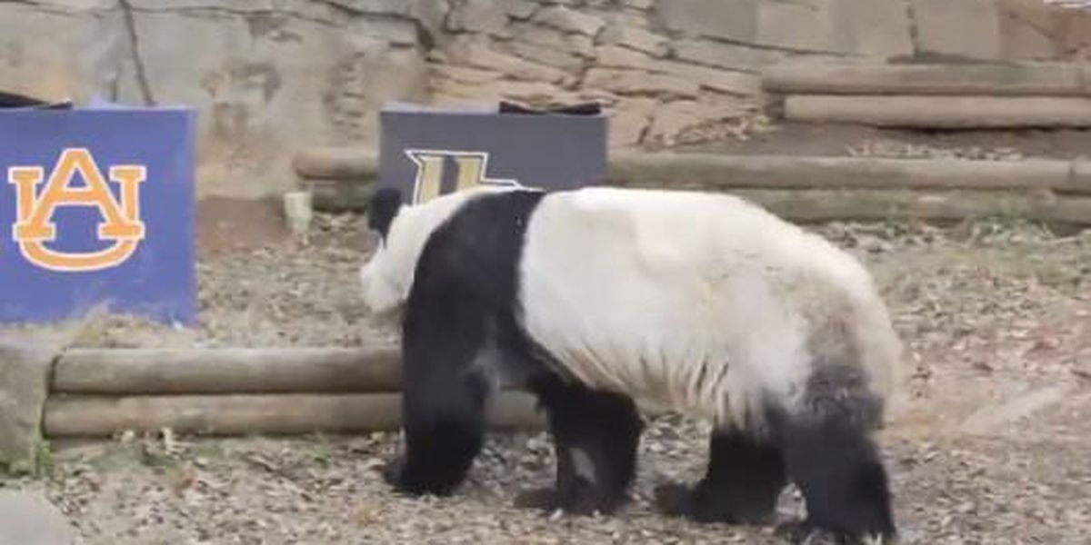 Giant Panda makes prediction in AU, UCF Peach Bowl game