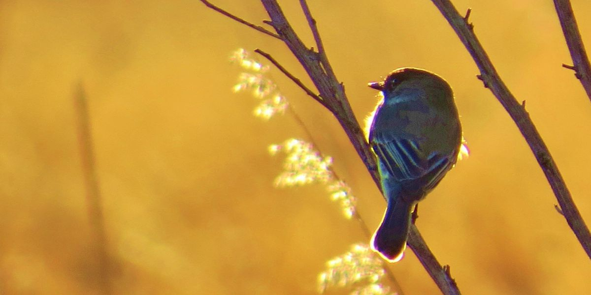 Ken Hare's Natural Alabama: Small Phoebe draws birders to Autauga County