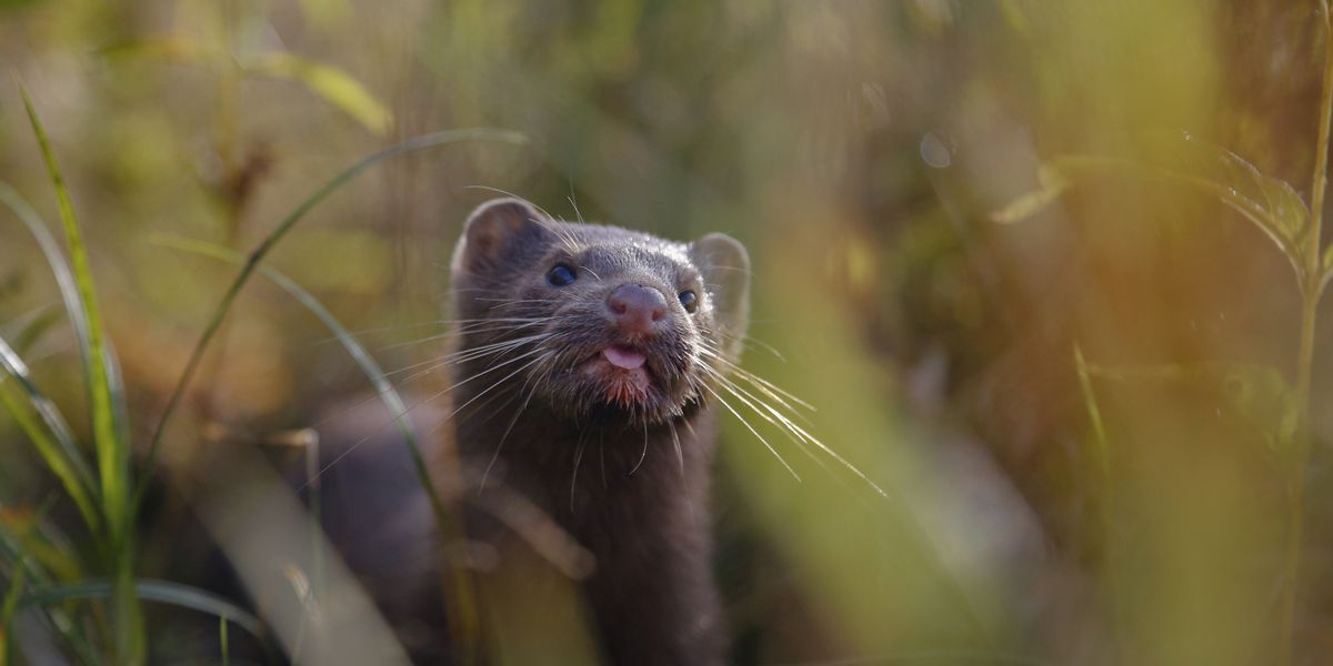 Scientists study coronavirus outbreaks among minks in Europe