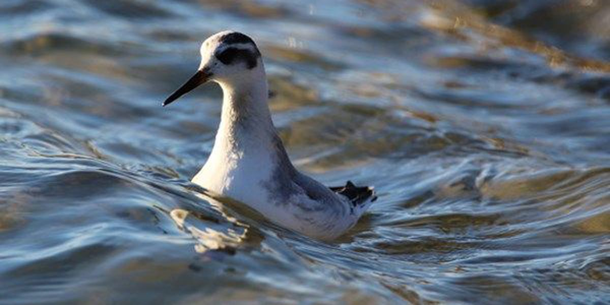 Ken Hare's Natural Alabama: Top 10 birds helped make 2016 a great year