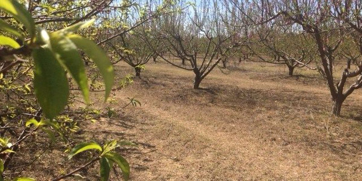Chilton County peach farmers still optimistic after 2 cold nights