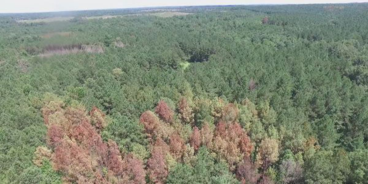 Southern Pine Beetle infestation impacting AL trees