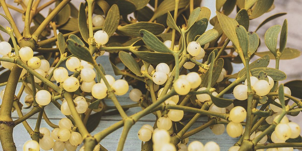 The curious history of mistletoe