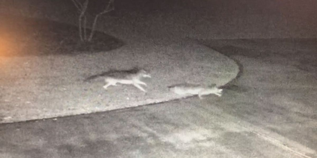 CAUGHT ON CAMERA: Coyote attacks deer on front lawn in Vestavia Hills