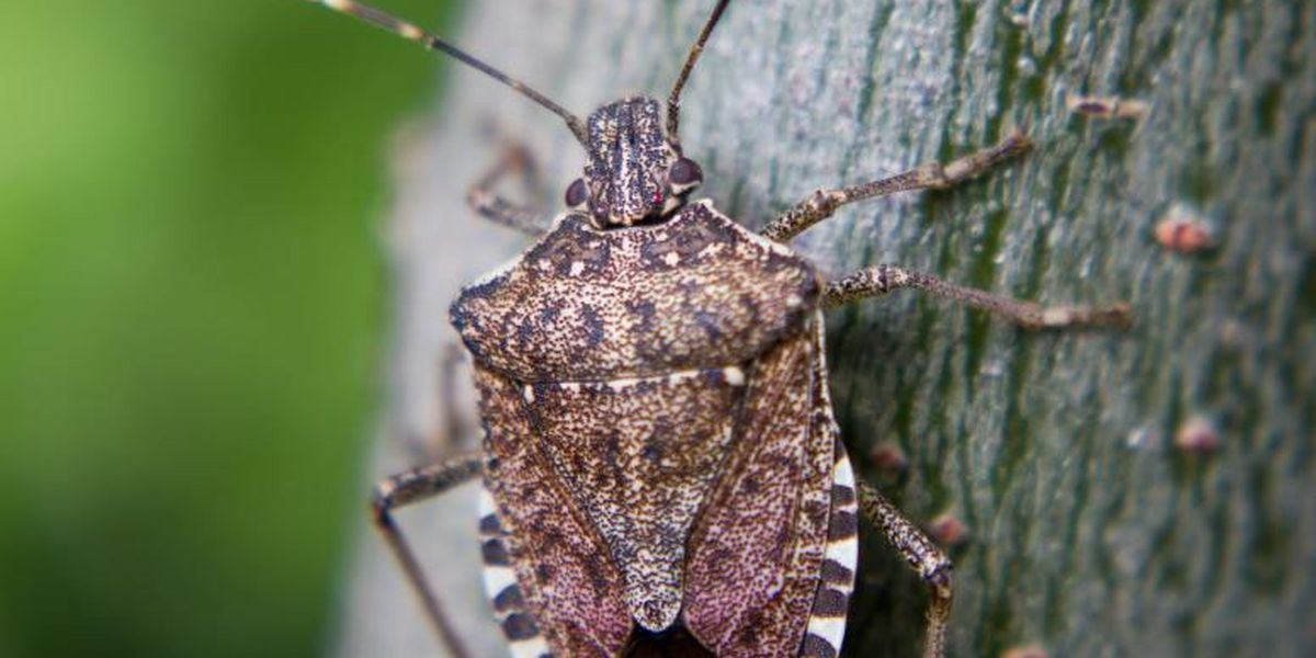 Homeowners can take steps to stop stinkbug infestation