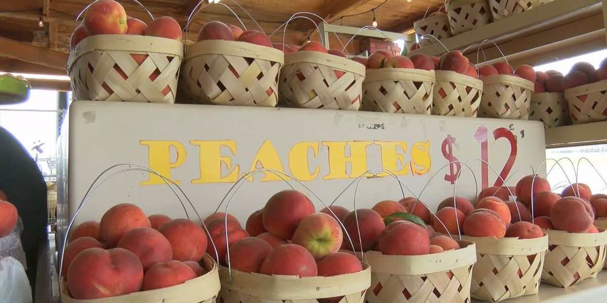 Harvest time for Chilton County peach farmers