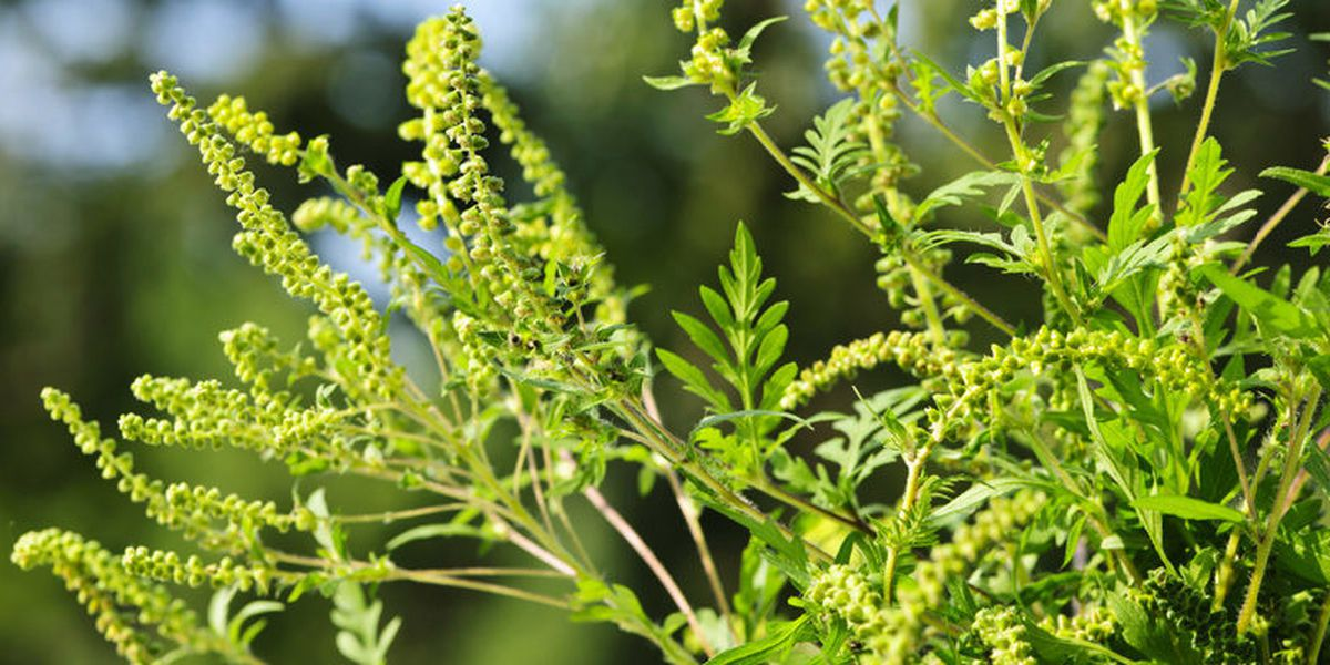 Upcoming weather pattern will send ragweed allergy levels surging