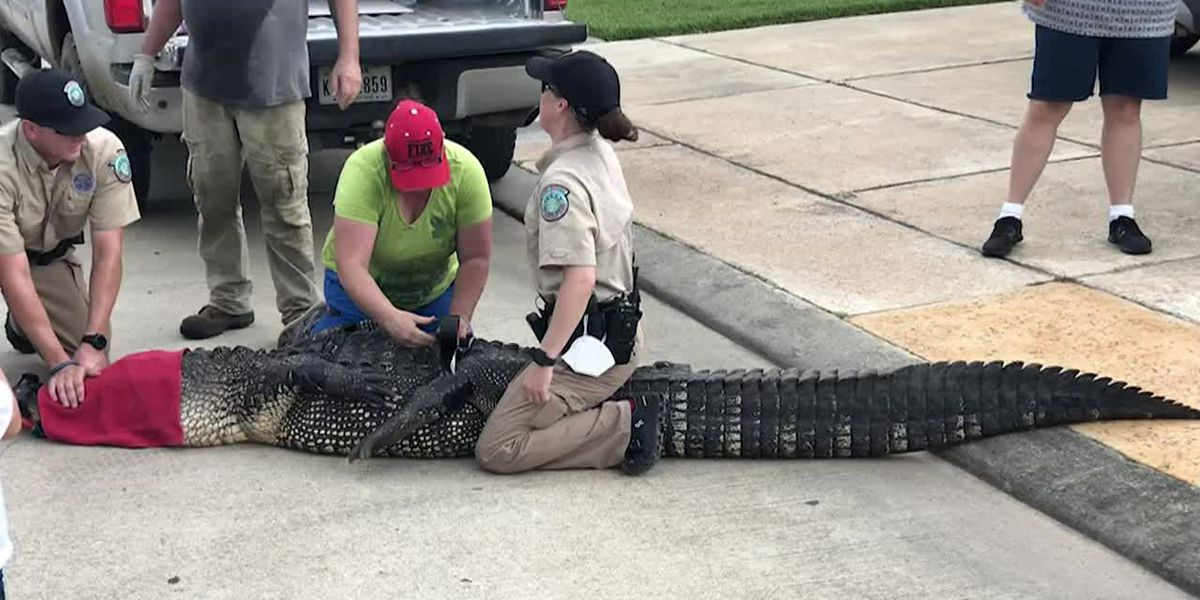 Big Texas gator has close call with children