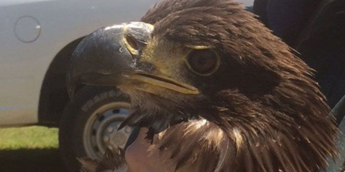 Juvenile eagle defies odds, set free in Dallas County