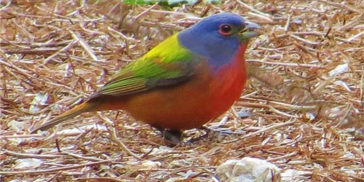 Ken Hare's Natural Alabama: Stunning Painted Bunting almost seems unreal