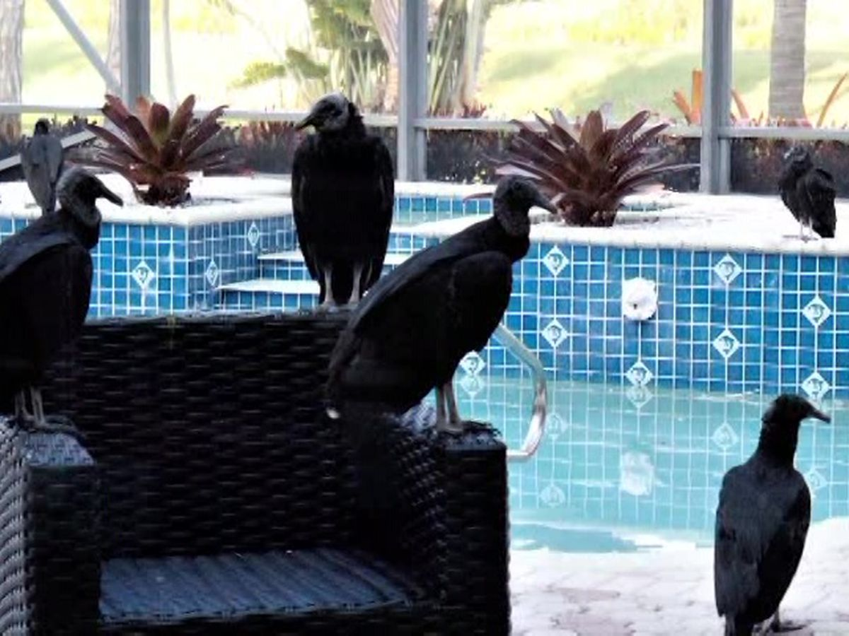 Florida neighborhood overrun by vultures