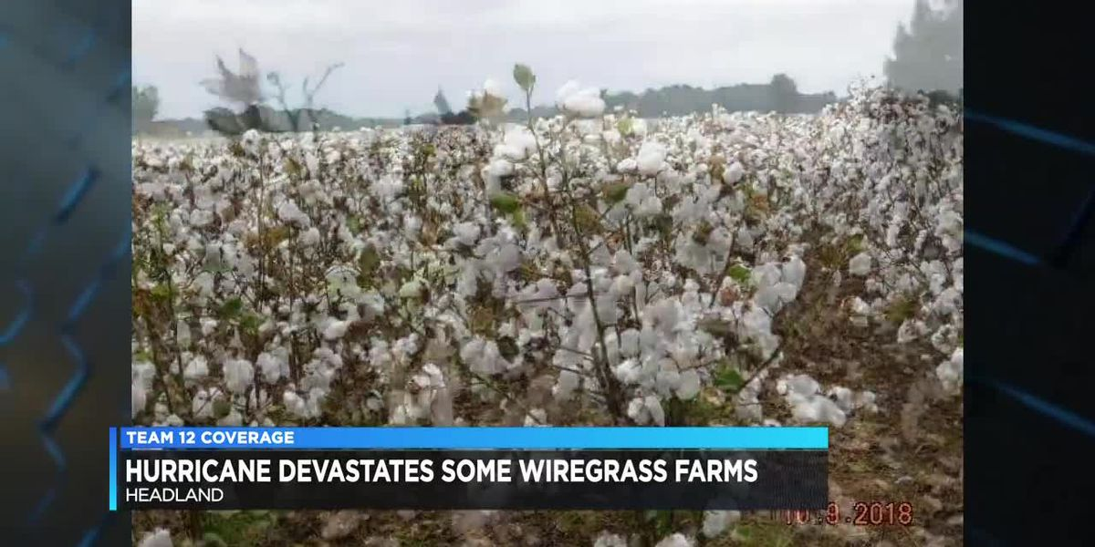 AL cotton farmers deal with loss of crops, profits after Michael