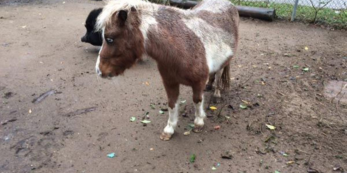 Mini-horse stolen from woman's home, allegedly to get money for meth