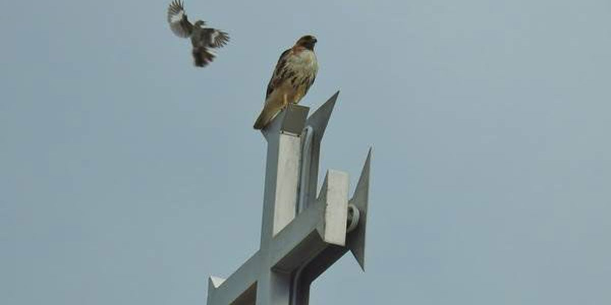 Ken Hare's Natural Alabama: When avian David meets bird Goliath, bet on David