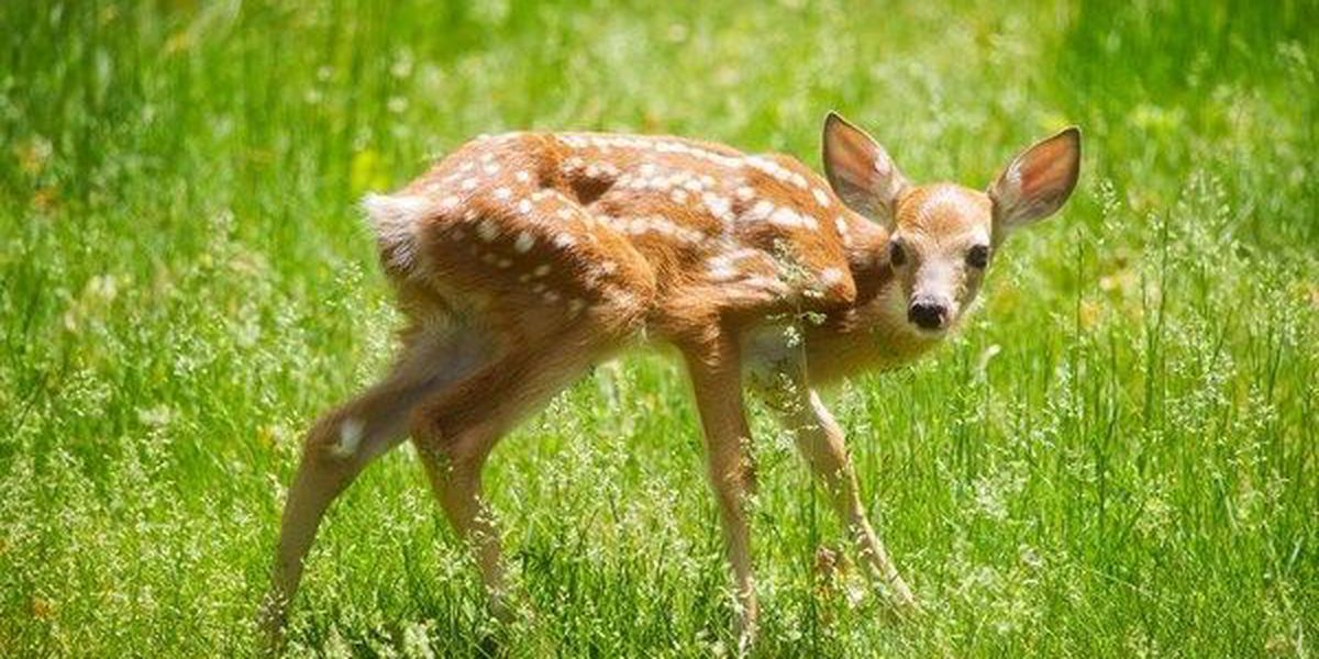 What should you do when you find a fawn?