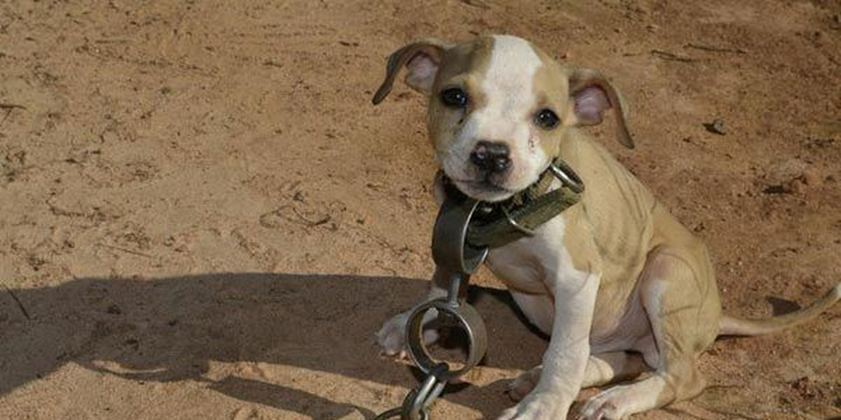 8 sentenced to prison in nation's second largest ever dog fighting case