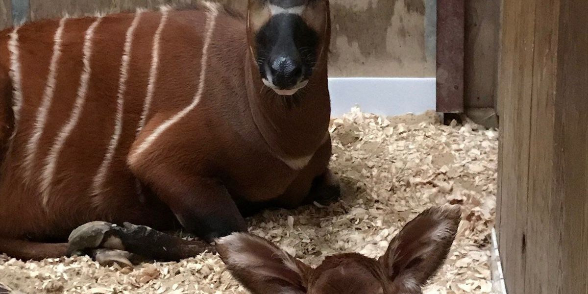 Zoo officials introduce new baby Bongo to African Realm