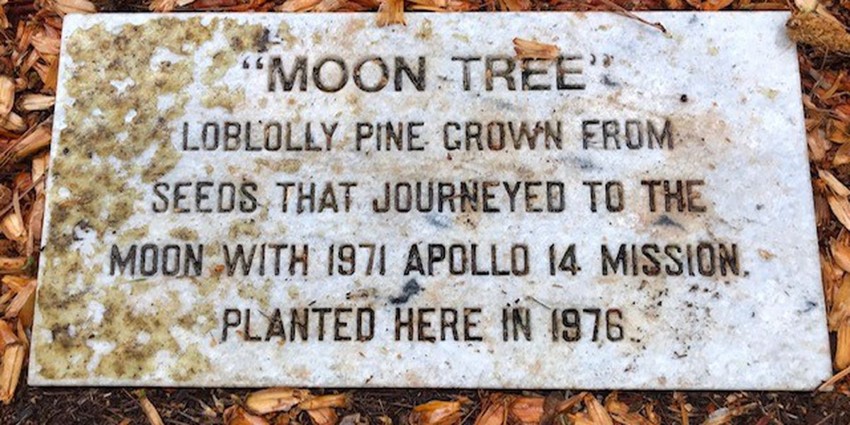 Have you ever seen Montgomery's 'Moon Tree'?