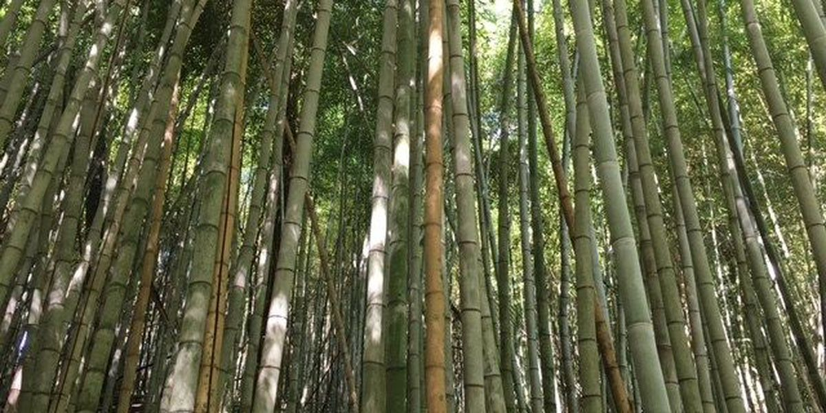 Prattville has its own bamboo forest