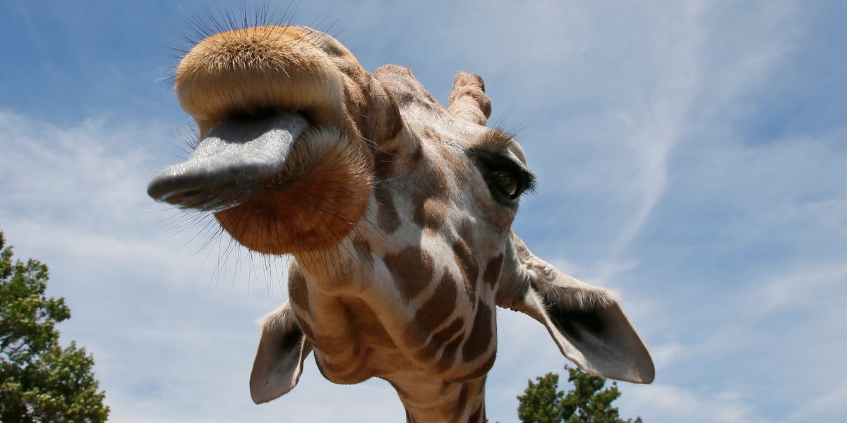 Hungry giraffe, zebra poach family's snacks during ride through wildlife safari park