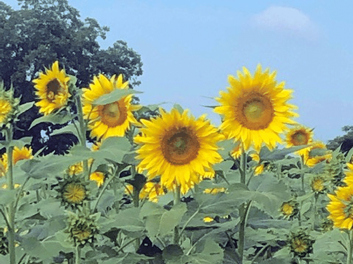 Secret planted among sunflowers in central Alabama field