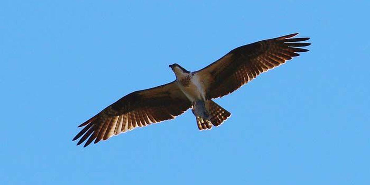 Ken Hare Natural Alabama: That's a fine kettle of...vultures?