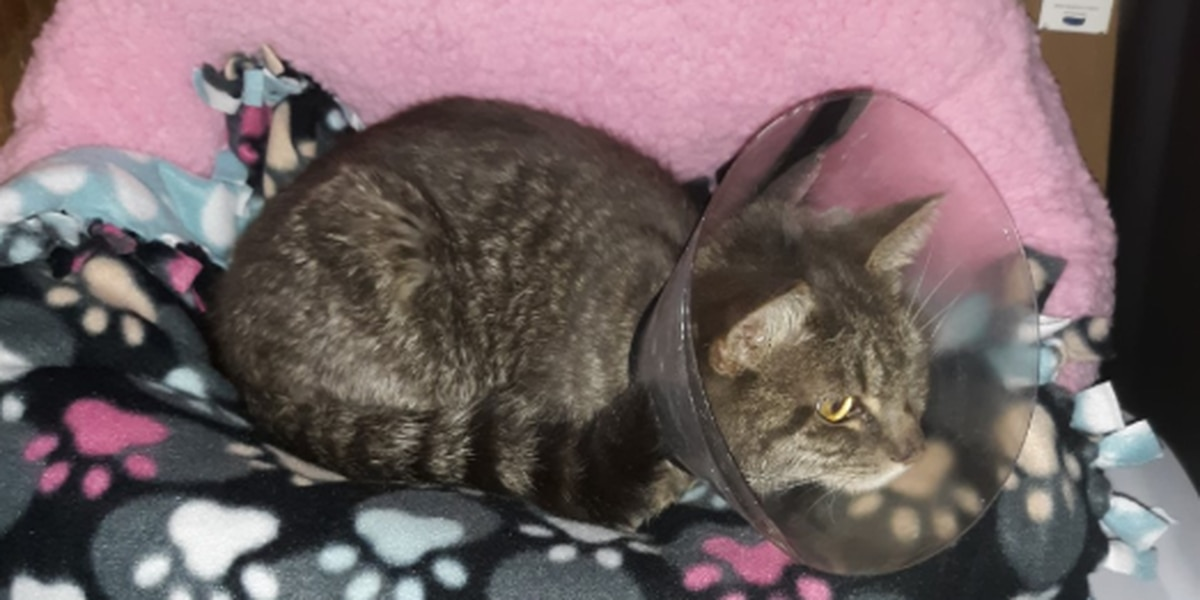 Abused cat in Shelby Co. continues to beat odds during recovery