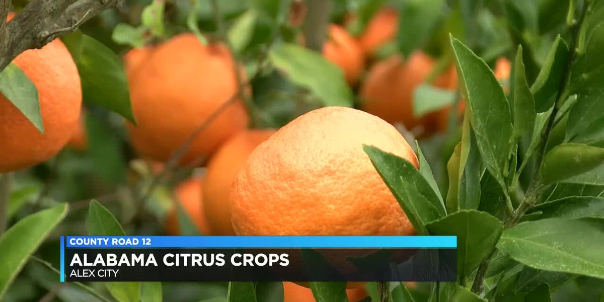 CR 12: May look like Florida, but this citrus farmer is from Alex City