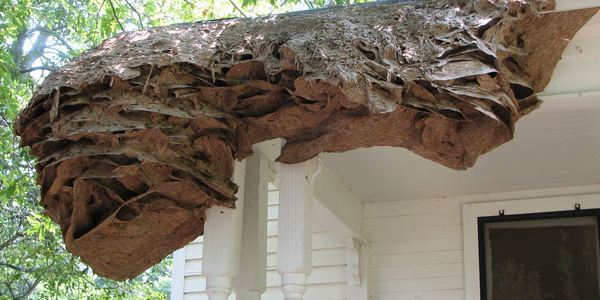 Large yellow jacket nests spotted in Alabama