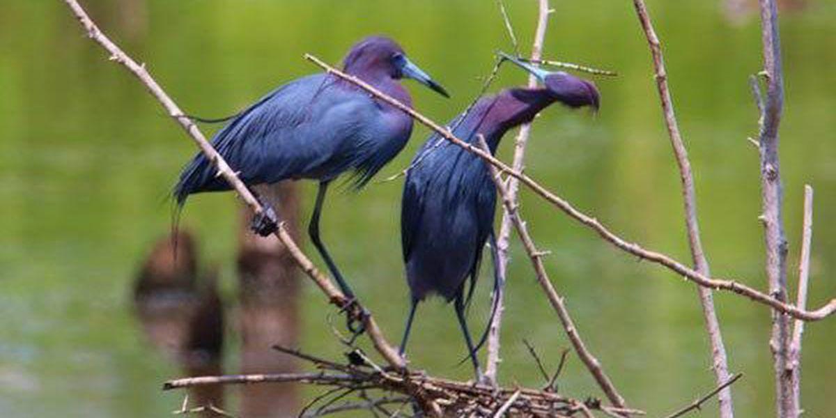 Ken Hare's Natural Alabama: Breeding season exciting time to watch Alabama birds