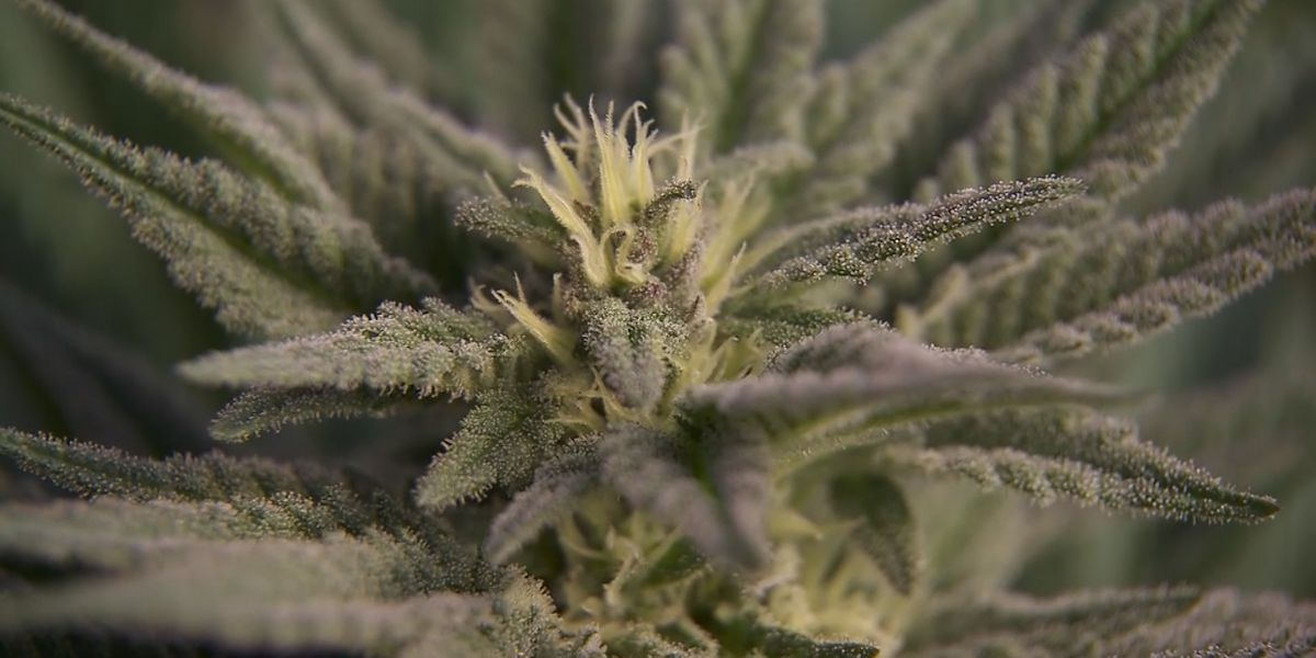 Study commission to legalize medical marijuana holds first meeting