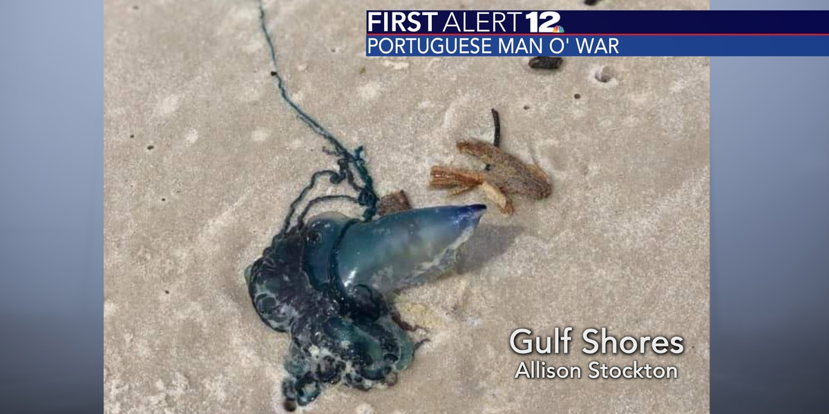 Dangerous Portuguese Man o' War washing up on several beaches, including in Alabama