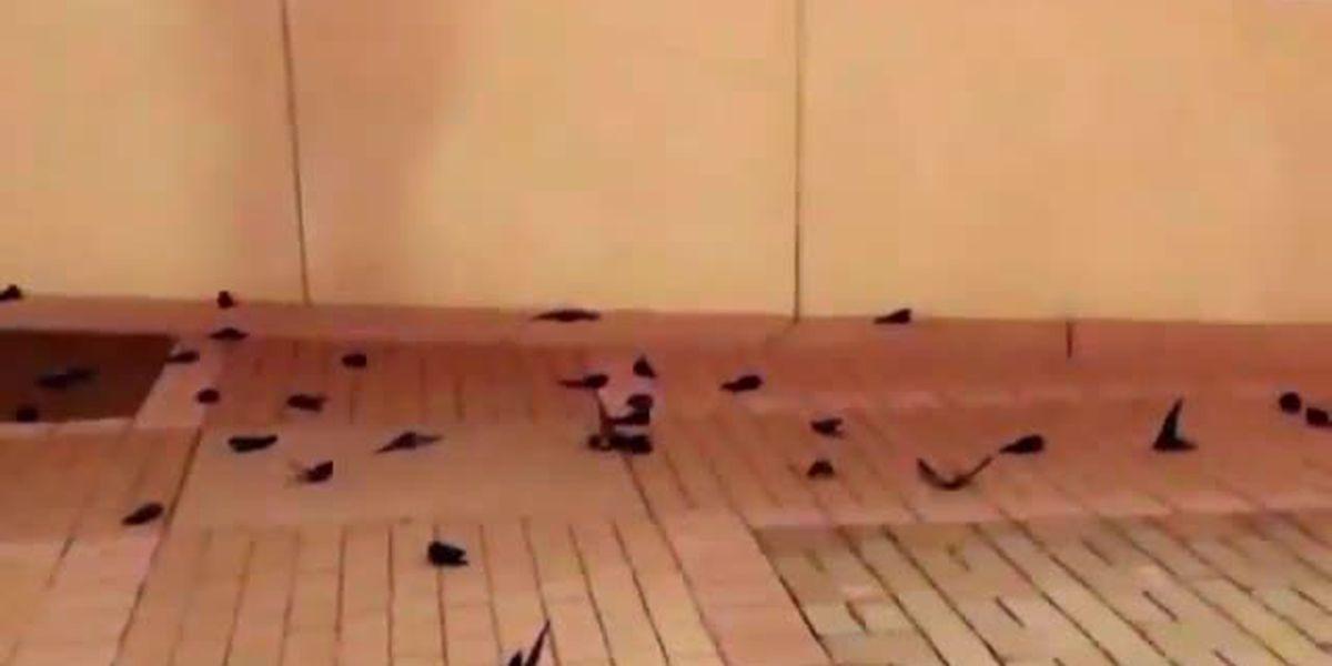 100+ birds dead, hundreds more seriously hurt after striking NASCAR Hall of Fame building