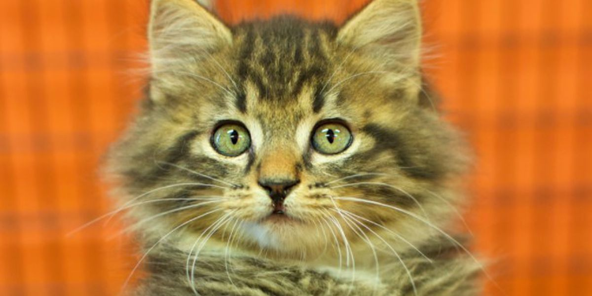 Montgomery Humane Shelter overloaded with kittens, needs foster families