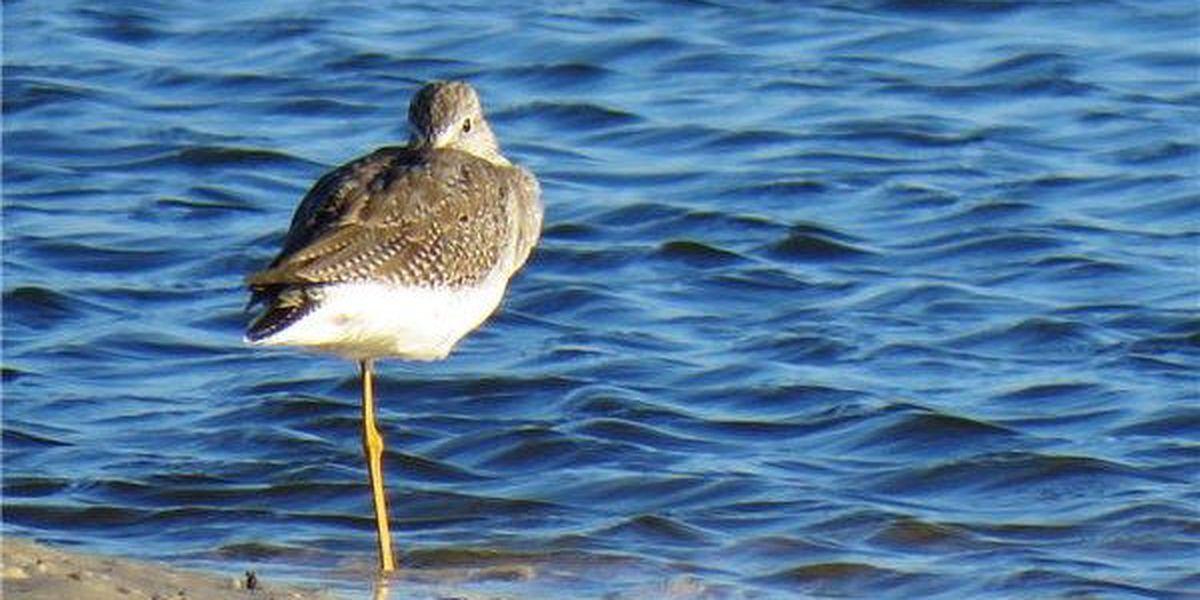 Dauphin Island, Fort Morgan deliver great birds